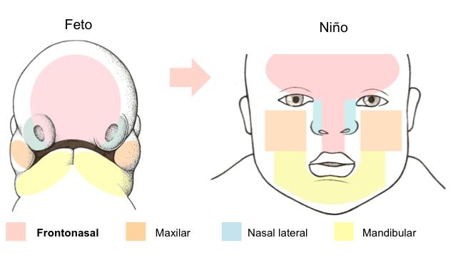 Figura 4. Estructuras de la cara derivadas del primordio facial en el feto y en el niño.